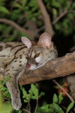 Sleeping Genet royalty free stock photography
