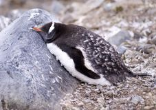 Sleeping Gentoo Penguin Royalty Free Stock Image