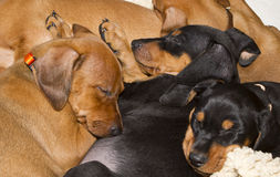 Sleeping German Pinscher puppies Royalty Free Stock Images