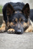 Sleeping German shepherd Royalty Free Stock Photo