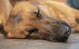 Sleeping German shepherd. Close up of sleeping German shepherd royalty free stock images