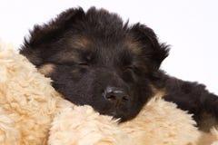 Sleeping German shepherd pup. German shepherd pup sleeping on a pluche animal Royalty Free Stock Images