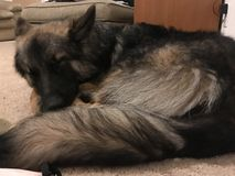 Sleeping German Shepherd royalty free stock image