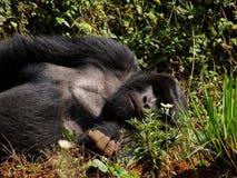 Sleeping giant. Resting male silverback gorilla in Virunga Park, Rwanda Stock Photo