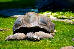 Sleeping giant galapagos turtle stock image