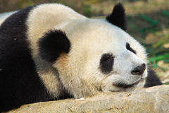 Sleeping Giant Panda Royalty Free Stock Photos