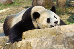 Sleeping Giant Panda Royalty Free Stock Images