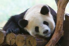 Sleeping Giant Panda. A Giant Panda is sleeping on woods Royalty Free Stock Photos