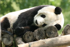 Sleeping giant panda Stock Photo