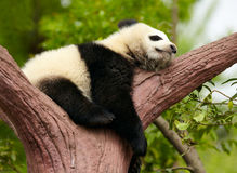 Sleeping giant panda baby. Over tree Royalty Free Stock Photography