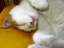Sleeping ginger cat Royalty Free Stock Photo