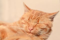 Sleeping ginger cat. Happy dream stock photo