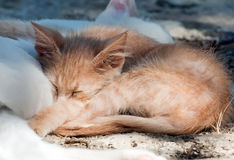 Ginger kitten sleeping on mother-cat Royalty Free Stock Images