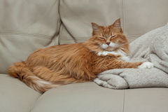 Sleeping ginger tabby cat Stock Photography