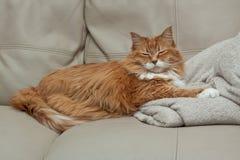 Sleeping ginger tabby cat. White and orange tabby cat sleeping on a beige blanket on a beige leather sofa Stock Photography