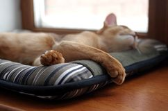 Sleeping ginger young Abyssinian kitten on gray pillow royalty free stock images