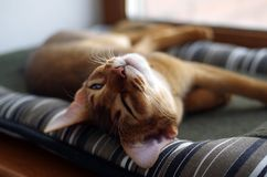 Sleeping ginger young Abyssinian kitten on gray pillow stock photography