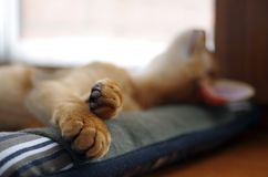 Sleeping ginger young Abyssinian kitten on gray pillow stock photo