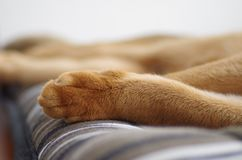 Sleeping ginger young Abyssinian kitten on gray pillow stock photos