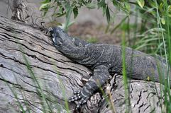 Sleeping Goanna Stock Photography