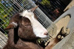 Sleeping goat. Goat peace fully sleeping on a cancrete wall Royalty Free Stock Photos