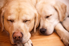 Sleeping golden labradors Stock Image