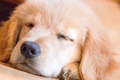 Sleeping golden pup Stock Photo
