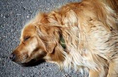 Sleeping golden retriever. Golden retriever dog sleeping on the warm asphalt stock photography