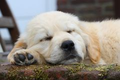 Sleeping golden retriever pup stock images