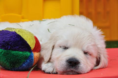 Sleeping golden retriever puppy. With his toy Royalty Free Stock Image