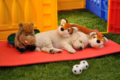 Sleeping golden retriever puppy with toys. Sleeping golden retriever puppy between toys stock images