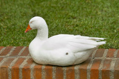 Sleeping Goose. A Sleeping goose on a brick fence. Taking some much needed rest Stock Images