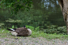 Sleeping Goose Royalty Free Stock Photo