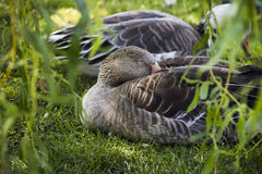 Sleeping gooses Stock Images