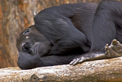 Sleeping Gorilla. Gorilla captured sleeping on log stock images