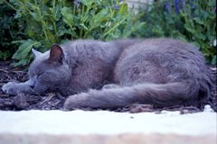 Sleeping gray cat Stock Images