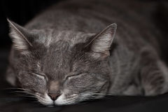 Sleeping gray cat Stock Photos