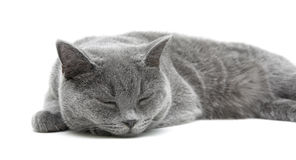 Sleeping gray cat (breed scottish-straight) on a white backgroun Royalty Free Stock Images