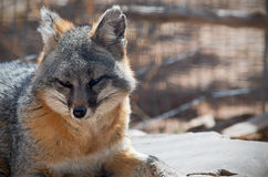 Sleeping Gray Fox Stock Images