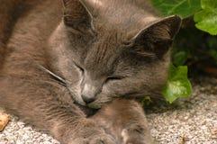 Sleeping Gray kitty cat Stock Photos