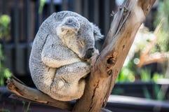 Sleeping Gray Koala Bear Royalty Free Stock Photo