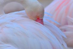 Sleeping greater flamingo Royalty Free Stock Images