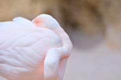 Sleeping greater flamingo Stock Image