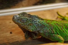 Sleeping green iguana stock images