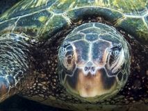 Close Up Face of Sleeping Sea Turtle royalty free stock image