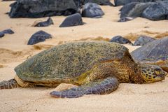 Sleeping Green Sea Turtle stock photos