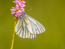 Sleeping Green-Veined white Royalty Free Stock Photo