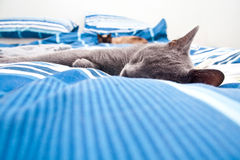Sleeping grey cat. Cute grey kitten sleeping on his bed Royalty Free Stock Images