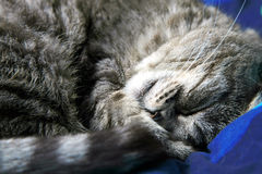 Sleeping grey cat. Stock Image