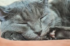 Sleeping grey cat close-up. Muzzle of a sleeping cat